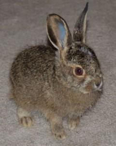 Jack_Rabbit_1