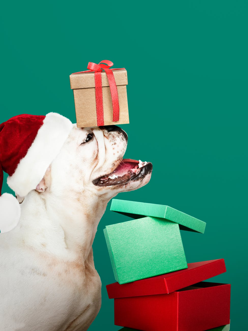brown gift box on white bull dog s head