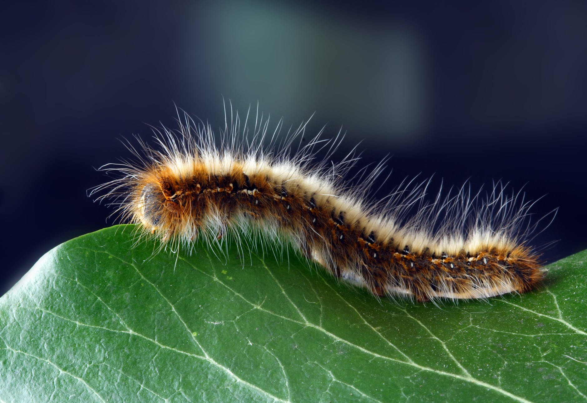 caterpillar close up hairy insect