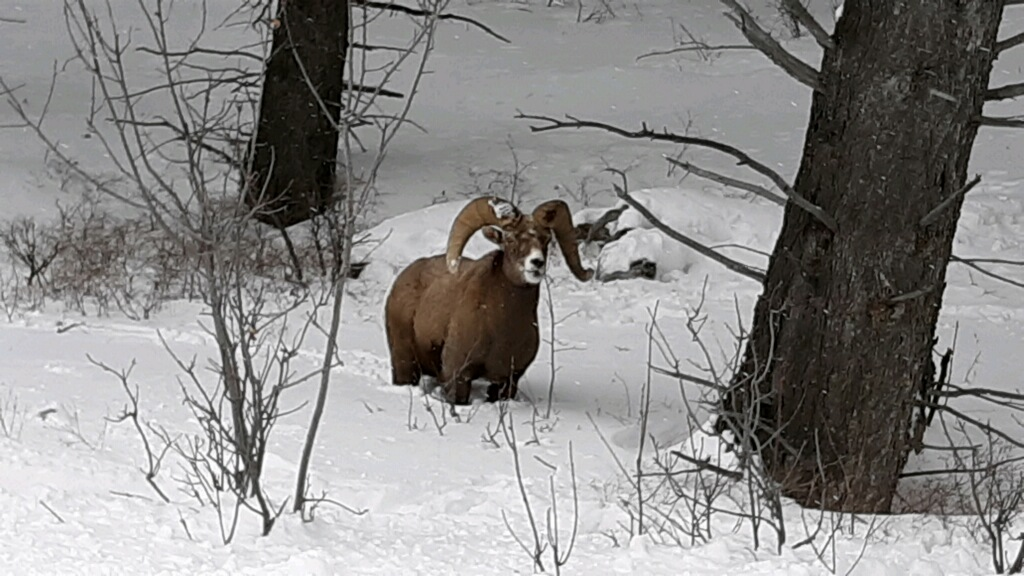 ram in snow.jpg