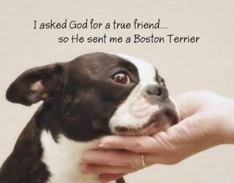 BostonTerrier-friend