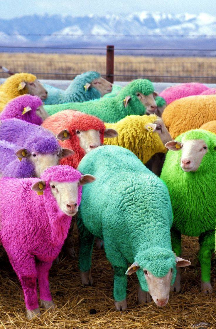 colored sheep