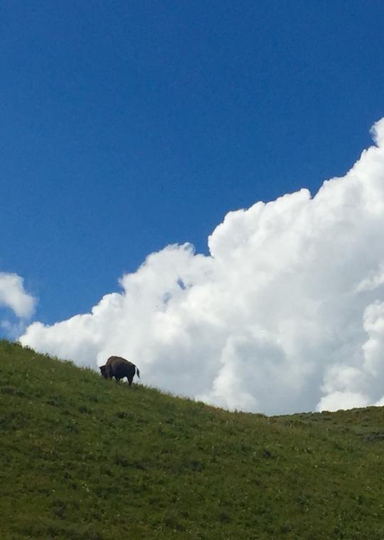 1 bison
