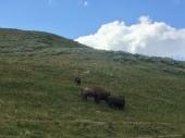 3 bison