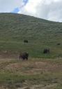 4 bison