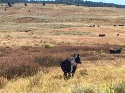 cattle in Ruby Valley field