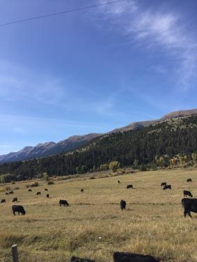 cattle near Warm Springs