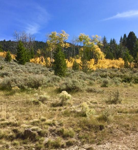 vibrant aspen grove