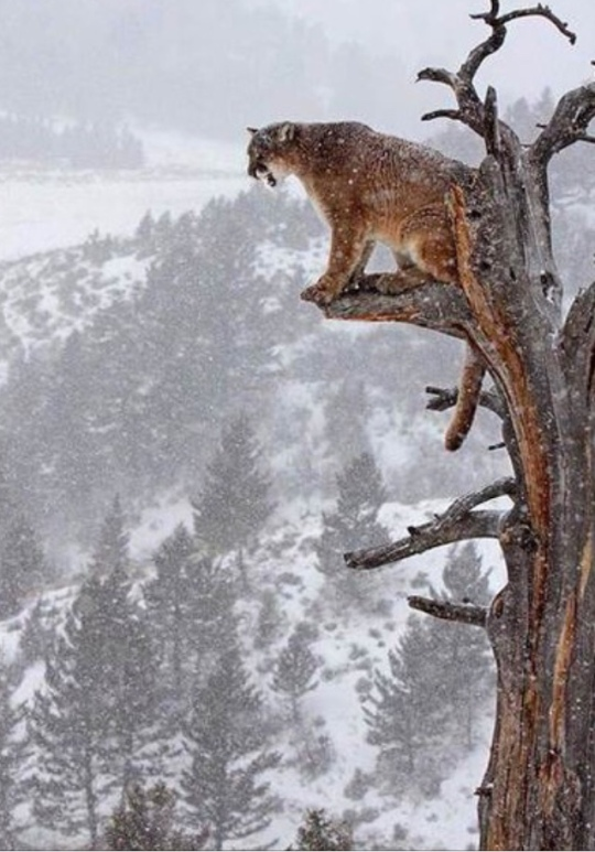 cougar on limb cliff