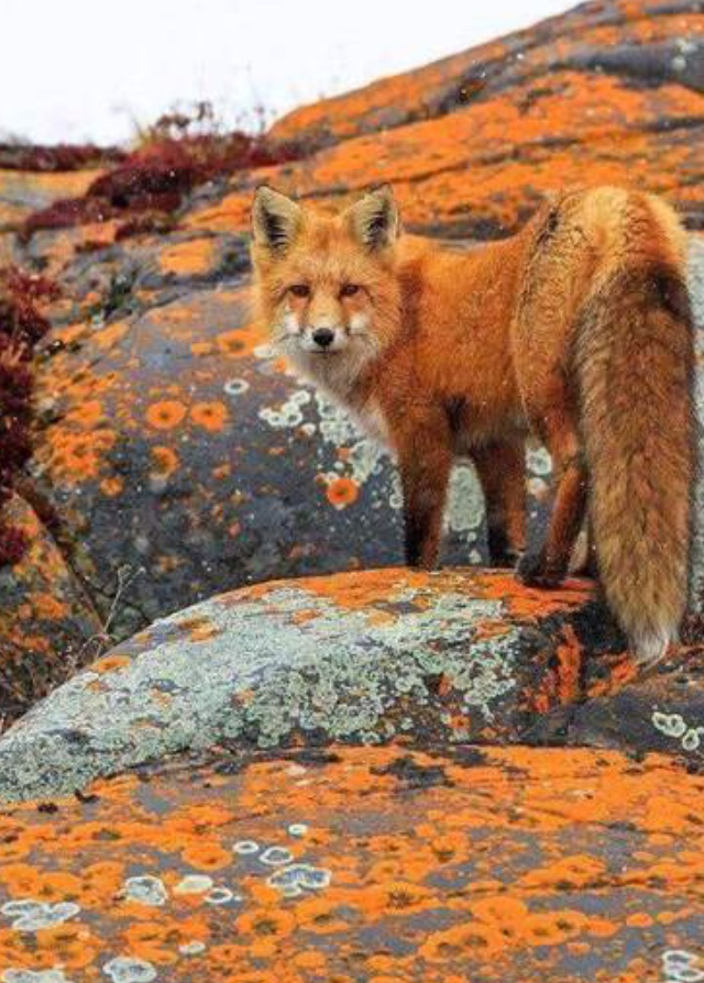 orange fox on orange rocks