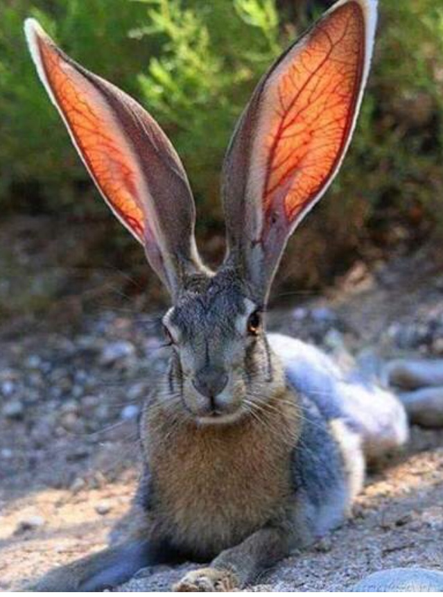 rabbit- big ears