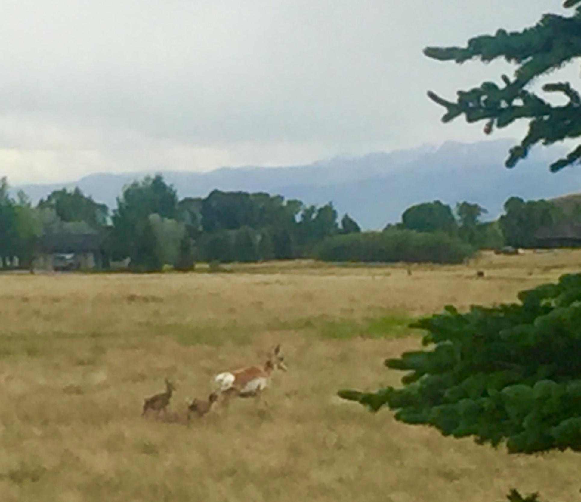 antelope doe w 2 babies.jpg